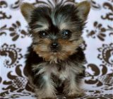 vand yorkshire terrier toy