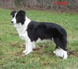 Vindem pui Border Collie