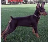 Vindem pui Pinscher pitic