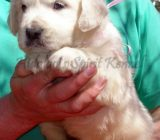 Pui Golden Retriever Hidalgos Spirit