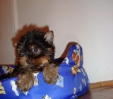 YORK SHIRE TERRIER de vanzare