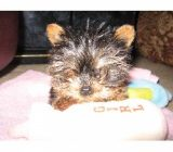 vand pui yorkshire terrier toy