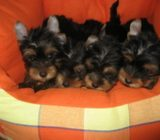 Pui Yorkshire Terrier