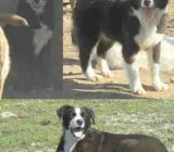 Ofer 	metisi BORDER COLLIE