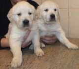 puiuti Golden Retriever de calitate!