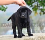 Labrador retriever cu pedigree