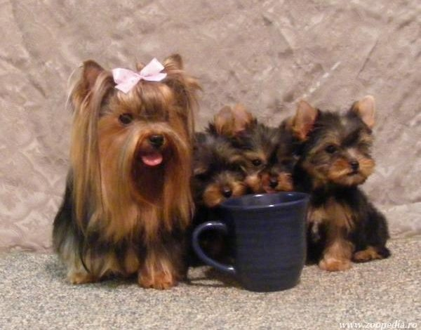 Yorkshire Terrier Toy Pictures To Pin On Pinterest Tattooskid